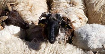 Picos sheep