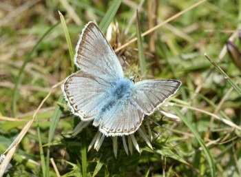 Chalkhill_Blue_male_2