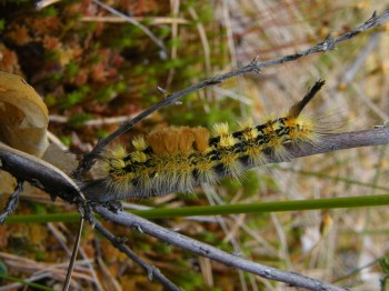 reed-tussock-larva