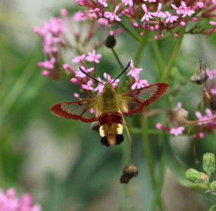 Broad-bordered Bee Hawk-moth, Hemaris fuciformis. Photo: Tim Norriss.