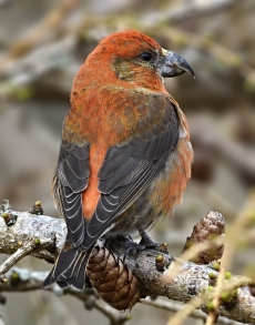 Crossbills were ringed in record numbers during the 2016 camp. Photo: Mark Hope.