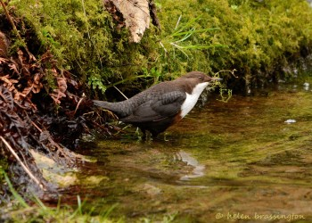 Dippers breed on the fastflowing streams in the Oare valley