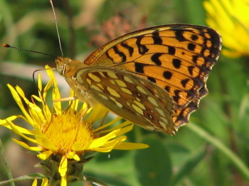 High-brown Fritillary, now one of the UK's rarest butterflies