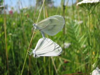 Wood White - a rare species in Dorset which could thrive in Chedington Woods if introduced