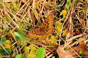 Small Pearl-bordered Fritillary. Photo: Zsuzsanna Bird.