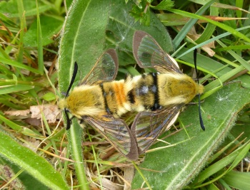 Narrow-bordered Bee Hawk-moths 01.06.2019 Langaford TJN