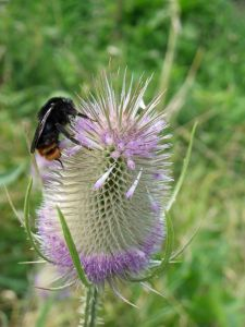 Hill Cuckoo Bumble Bee-lays in the nests of Red-tailed Bumblebees