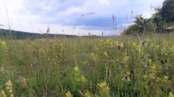 Sherborne Terraces SNCI 2020 was an excellent year for Yellow Rattle